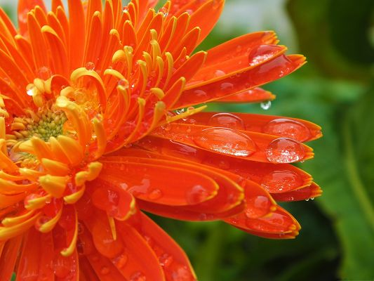click to free download the wallpaper--Orange Flowers Picture, Beautiful Flower in Bloom, Rain Drops All Over