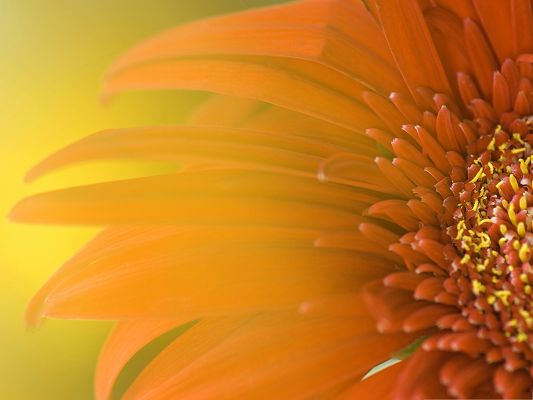 click to free download the wallpaper--Orange Flowers Picture, Bright-Colored Flower, Added with Glowing Effect