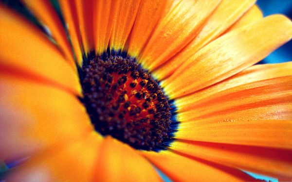 click to free download the wallpaper--Orange Flowers Picture, Colorful and Beautiful Flower Under Macro Focus