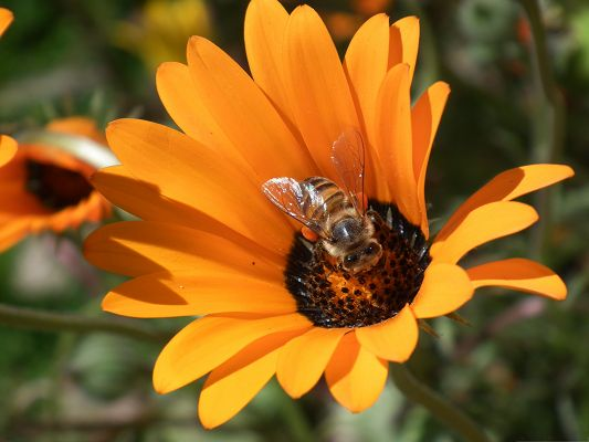 click to free download the wallpaper--Orange Flowers Picture, a Bee on Tiny Orange Flower, Working Hard