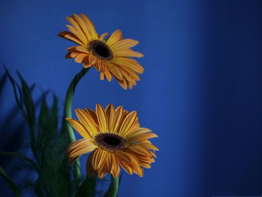click to free download the wallpaper--Orange Gerbera Flowers, Yellow Blooming Flowers in the Blue Sky