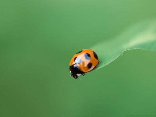 click to free download the wallpaper--Orange Ladybug Pic, Little Insect on Green Leaf, Great Look
