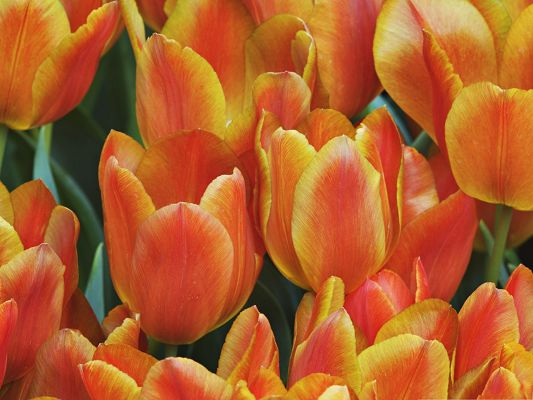 Orange Tulips Flowers, Beautiful Flowers and Green Leaves, Amazing Scene