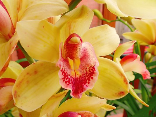 click to free download the wallpaper--Orchid Flowers Picture, Yellow Blooming Flowers and Green Leaves, What a Combination!
