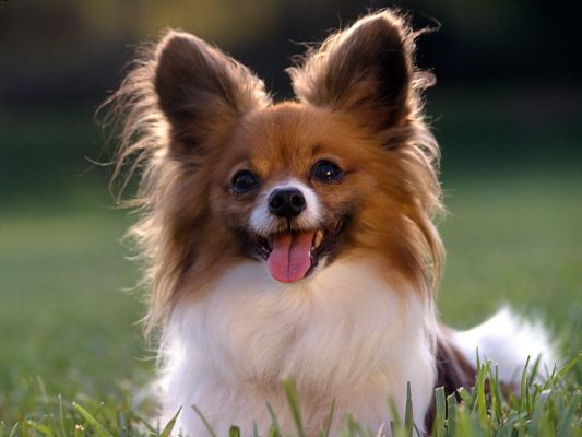 click to free download the wallpaper--Papillon Dog Taking a Rest