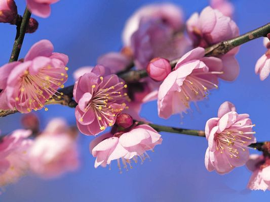 Peach Blossom Image, Pink Flowers in Bloom and Bud, the Blue Sky