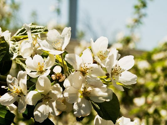 click to free download the wallpaper--Pear Flowers Photo, White Blooming Flowers with Strong Sunshine, Amazing Scene