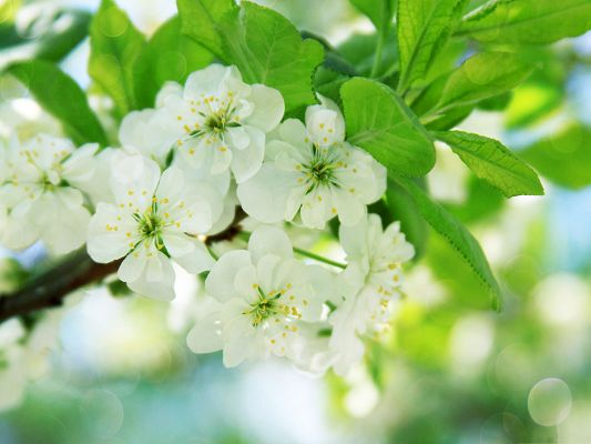 click to free download the wallpaper--Pear Tree Flowers, Tiny White Flowers, Impressive Scenery