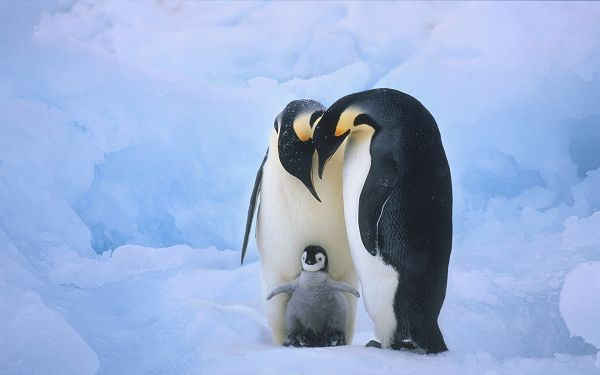 click to free download the wallpaper--Penguin Family Close to Each Other, Closeness is Revealed, It is a Warm and Cozy Scene - Cute Animals Wallpaper
