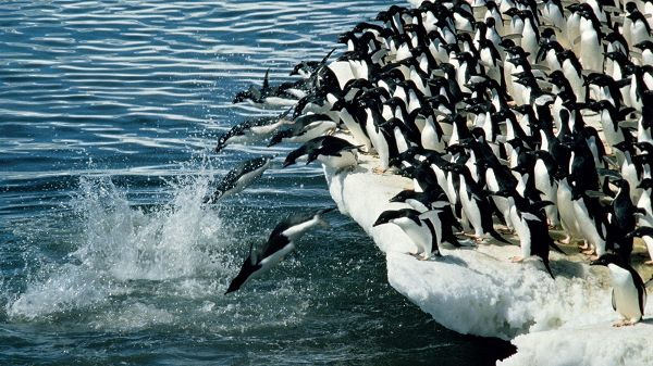 Penguins Jumping into the Sea, Brave in Heart and Graceful in Pose, You Are Good - HD Cute Penguin Wallpaper