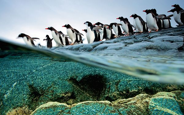Penguins Jumping into the Sea One by One, Sea Water Can't be More Clear, This is Such an Enjoyable Moment - HD Natural Scenery Wallpaper