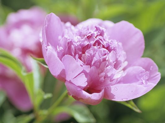 click to free download the wallpaper--Peony Flower Pictures, Pink Flowers in Bloom, Put Against Green Background