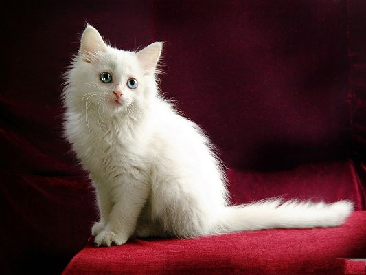 click to free download the wallpaper--Persian Cat Image, White Kitten on Red Cloth, Blue Big Eyes