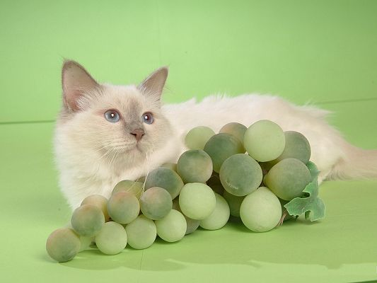 click to free download the wallpaper--Persian Cat Images, White Kitten Around Green Grape, Nice Look