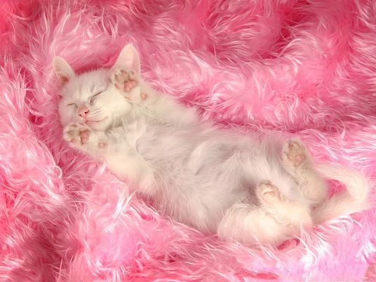 click to free download the wallpaper--Persian Cat Pic, White Sleeping Kitten with Pink Paws, the Sweet Princess