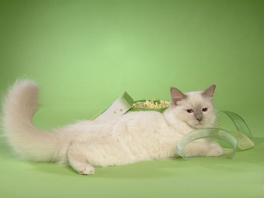 click to free download the wallpaper--Persian Cat Pics, Stretched Body, Green Box and Ribbon, Comfortable Life