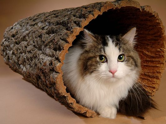 Persian Cat Picture, Stay in Wooden Hole, Pure and Beautiful Kitten