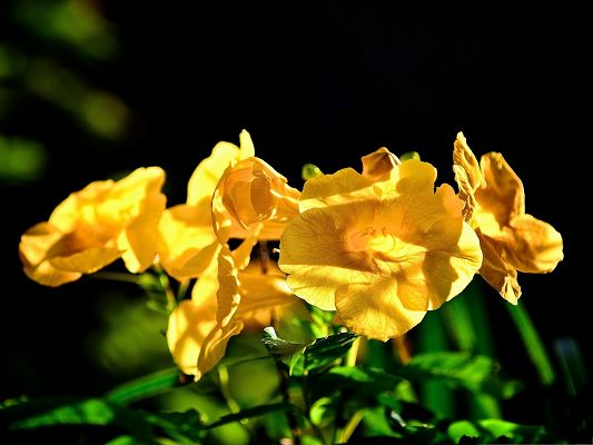 click to free download the wallpaper--Philippine Flowers, Golden Flower in Bloom, Black Background, Incredible Scenery