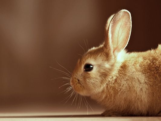 Photo of Cute Animals, Orange Rabbit from Side Look, Light and Simple Background