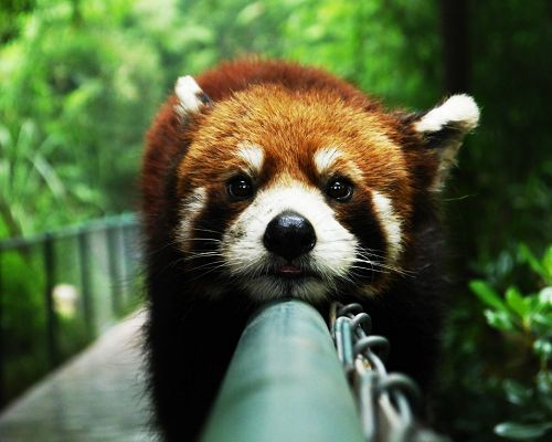 click to free download the wallpaper--Photos of Cute Animal, Red Panda on Pipe, Attentive Look