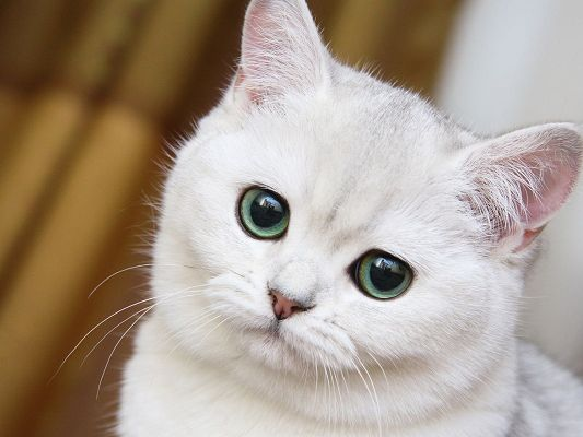 click to free download the wallpaper--Photos of Cute Animal, White Cat in Green Black Eyes, Innocent Look