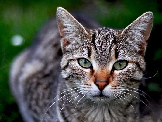 Photos of Cute Cat, Tabby Cat in Green Eyes, Mysterious Look