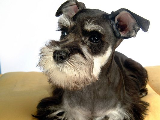 Photos of Miniature Schnauzer, Mini and Cute Puppy, Must be Well-Liked