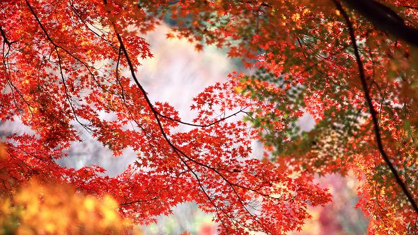 Photos of Natural Scene - Red Maple Trees on Thin Branches, Mere Background, Combines a Great Scene