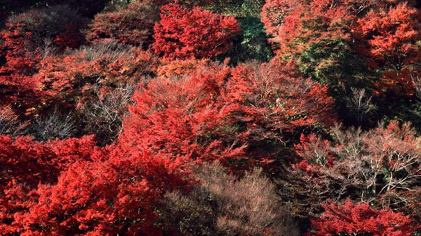 Photos of Natural Scenery - Red Leaves Like Blood, Close to Each Other, Looking Good Together