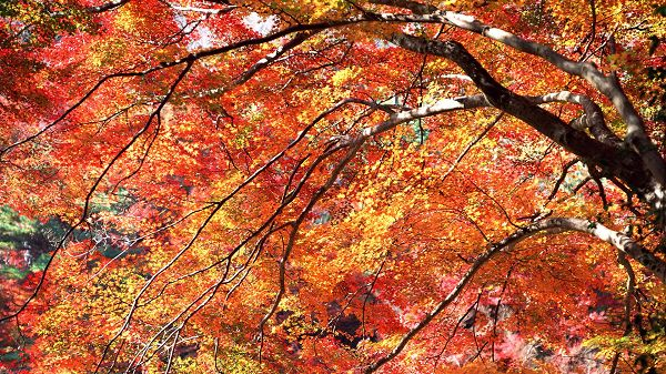 click to free download the wallpaper--Photos of Natural Scenery - Tall Trees with Red and Yellow Leaves, is Great in Look
