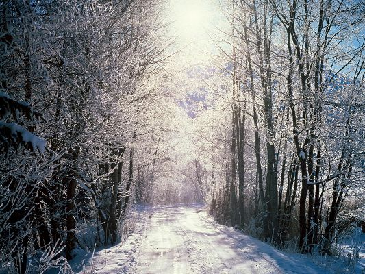 click to free download the wallpaper--Photos of Nature Landscape, Snowy Woods, Tall Trees, Sunlight Pouring on Them