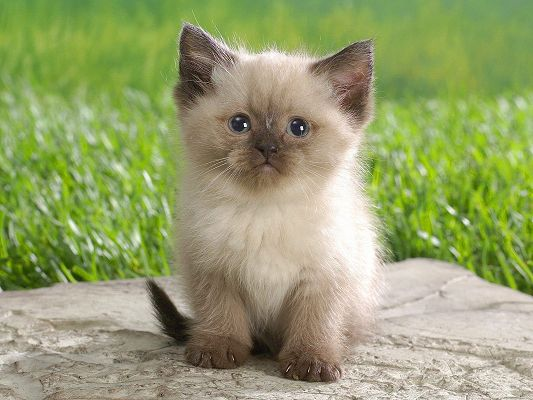 click to free download the wallpaper--Pic of Cute Animal, Himalayan Kitten on Stone, Quiet and Still, Green Grass as Background