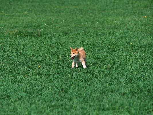 click to free download the wallpaper--Pic of Japanese Shiba Inu, Endless Green Field, Tiny Puppy in Free Run