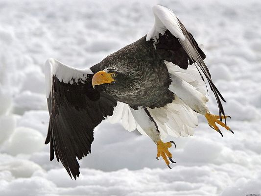click to free download the wallpaper--Pics of Animals - Stellers Sea Eagle Post in Pixel of 1600x1200, an Eagle in Fly, Wings Fully Open, It is a Tough Guy