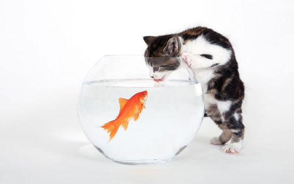 click to free download the wallpaper--Pics of Animals - Tastes Fishy Post in Pixel of 1920x1200, a Thoughtful Kitty Making a Plan to Eat the Fish