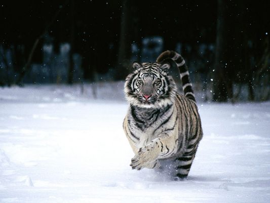 Pics of Animals - White Tiger Post in Pixel of 1600x1200, Running Fast in Heavy Snow, It is Energitic and Lively