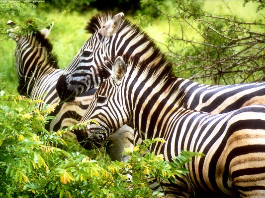 click to free download the wallpaper--Pics of Animals - Zebras Wallpaper in Pixel of 1600x1200, Close Relationship Between Each Other, Doing Some Sharing
