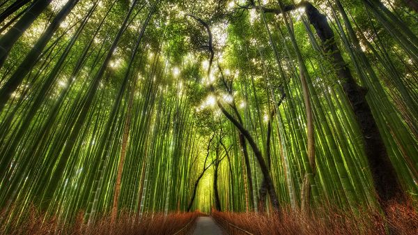 click to free download the wallpaper--Pics of Green Plants - A Full Eye of Tall and Straight Bamboos, a Narrow Road in the Middle Part