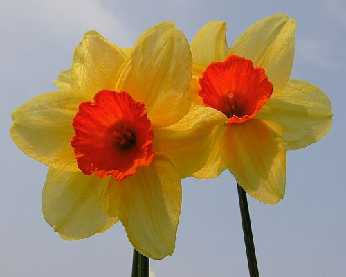 Pics of Nature Landscape, Special Daffodils, Red Stamen, Shall be Impressive