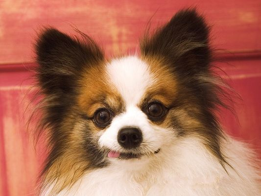 Pics of Papillon, Mini and Cute, Are You Making Faces?