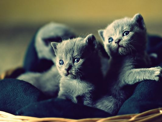 click to free download the wallpaper--Picture of Animals, Cute Blue Russian Kittens, Can't Help Giving Them a Touch