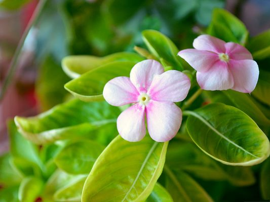 click to free download the wallpaper--Pictures of Pink Flower, Small and Blooming Flowers Together with Green Leaves