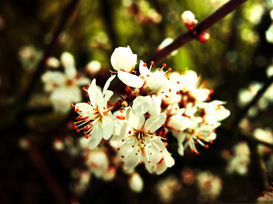 click to free download the wallpaper--Pictures of Spring Flowers, White and Little Flowers, Thick Branch