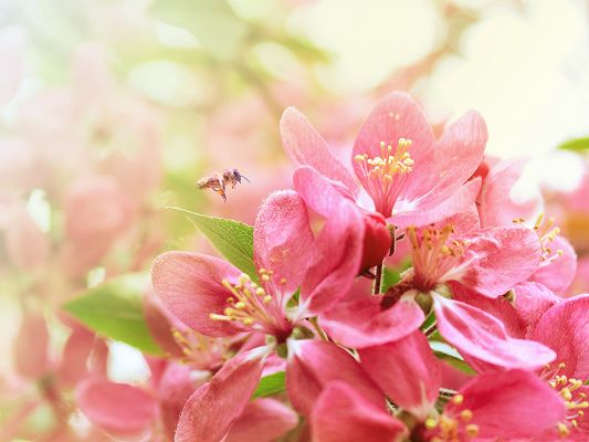 click to free download the wallpaper--Pink Apple Flowers, a Bee Approaching Beautiful Flowers, Great Lovers
