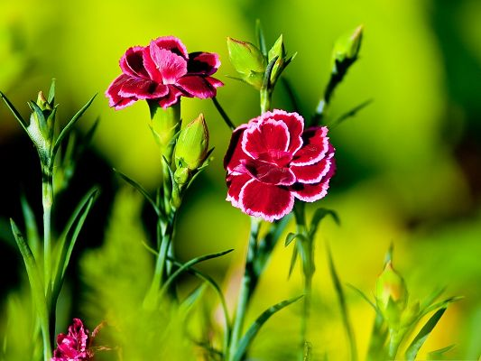 click to free download the wallpaper--Pink Carnation Flowers, Beautiful Blooming Flowers and Green Leaves, Great Combination