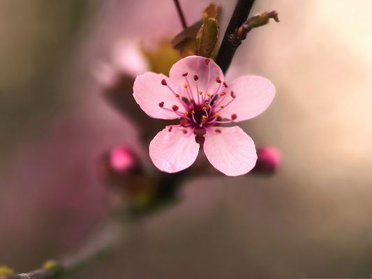 click to free download the wallpaper--Pink Cherry Flower Image, Lonely Cherry Flower in Bloom, Micro Focus