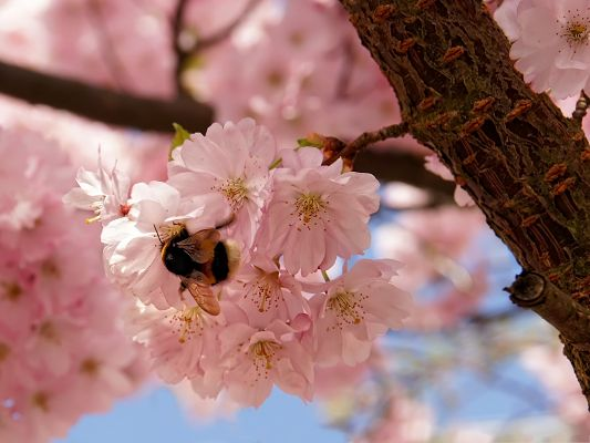 click to free download the wallpaper--Pink Cherry Flowers, Small Blooming Flowers, a Bee on Them