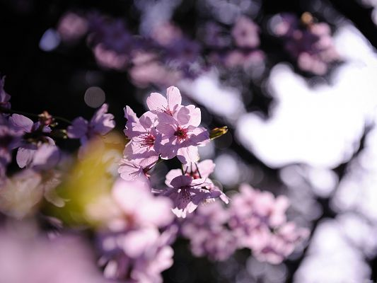 click to free download the wallpaper--Pink Cherry Images, Tiny Blooming Flowers on Thin Branch, Impressive Scene