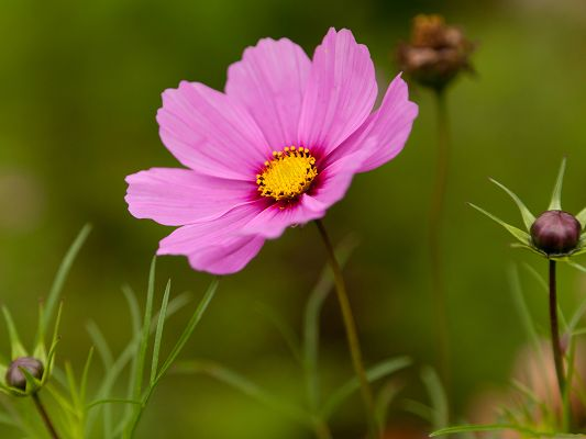 click to free download the wallpaper--Pink Cosmos Flowers, Blooming Flowers Among Green Grass, Amazing Scenery