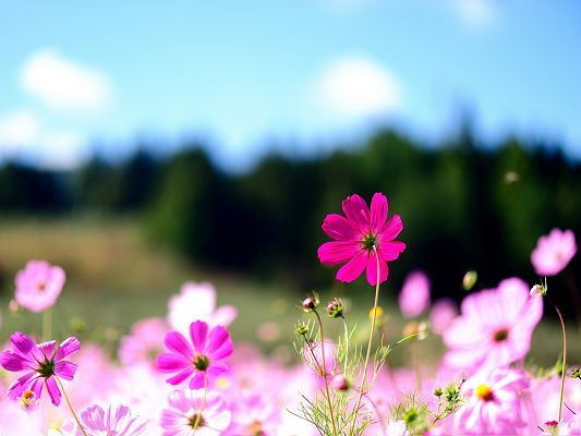click to free download the wallpaper--Pink Cosmos Flowers, Little Flower in Bloom, Smile in the Blue Sky